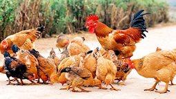 Ăn gà như thế nào để tốt cho sức khỏe đảm bảo dinh dưỡng