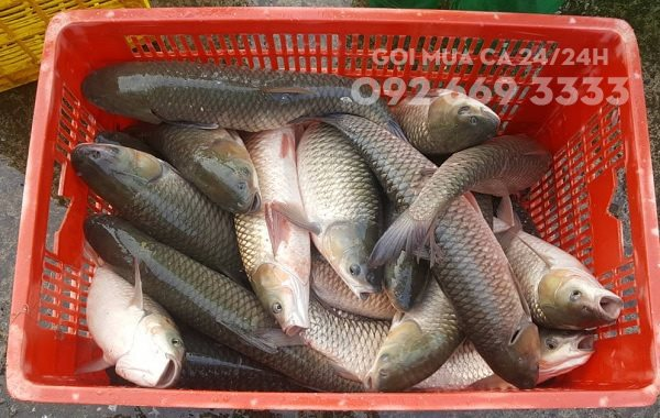 Nguy cơ suy đa tạng từ thói quen ăn mật cá