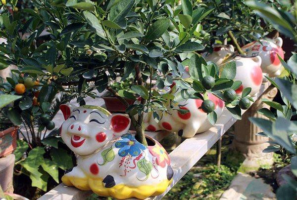 Đã mắt ngắm heo vàng cõng quất bonsai chào tết Kỷ Hợi 2019