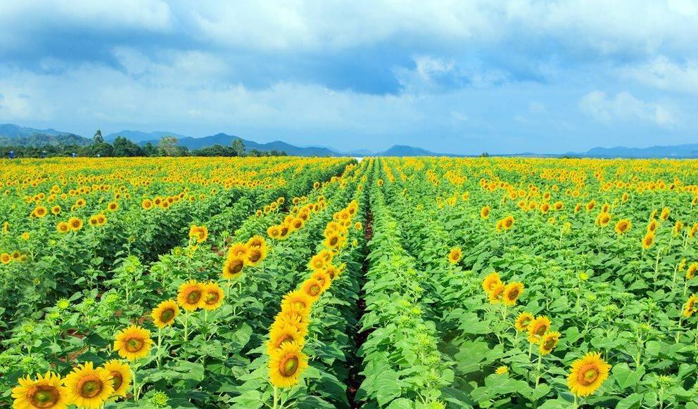 Check - in 5 cánh đồng hoa hướng dương đẹp nhất trong những ngày cuối năm