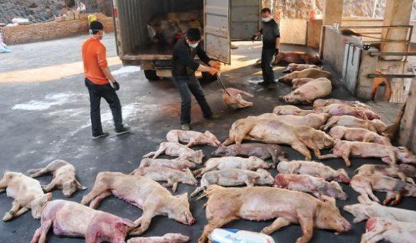 Dịch tả lợn Châu Phi tiếp tục bùng phát ở miền Nam Trung Quốc
