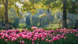 """Đến Ecopark ngắm """"thiên đường"""" hoa Tulip"""