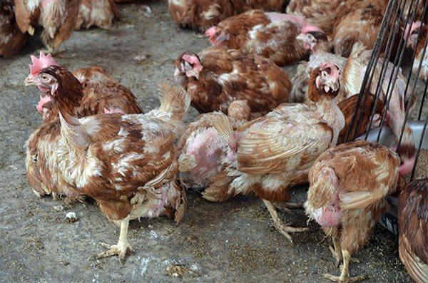 Mẹo phân biệt gà thải loại được bán trà trộn ngoài chợ trong tích tắc