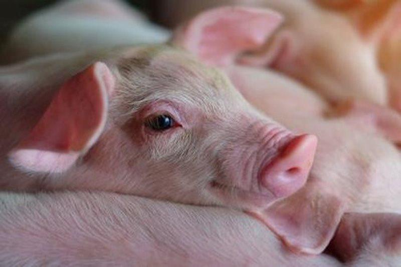 Tết đến gần, cảnh báo dịch lở mồm long móng ở gia súc có thể lây các bệnh lây nhiễm khác sang người