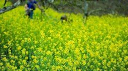 Khó lỡ hẹn với mùa Xuân hoa cải Mộc Châu