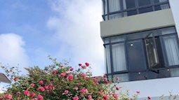 Đã mắt với vườn hồng cổ nghìn nụ chuẩn bị tung ra phục vụ thị trường Tết Nguyên đán