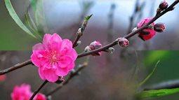 Bí quyết giúp hoa đào nở và tươi lâu đúng ngày Tết