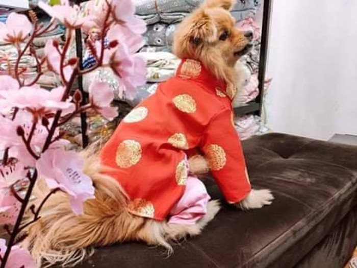 Sắm áo dài sành điệu cho thú cưng diện Tết