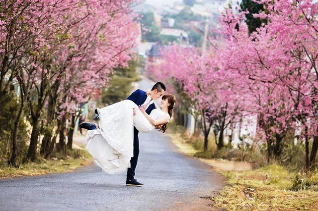 """""""Phải lòng"""" sắc hồng mai anh đào mùa Xuân ở Đà Lạt"""