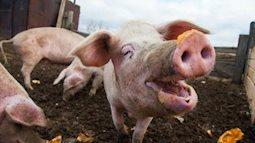 Dịch tả lợn châu Phi nguy hiểm đến mức nào?