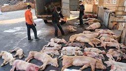 Vì sao dịch tả lợn châu Phi Trung Quốc bùng phát ở Trung Quốc?