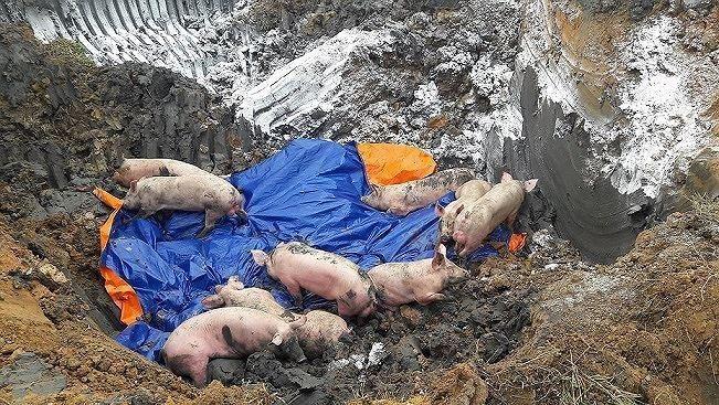 Mách người tiêu dùng cách nhận biết lợn bị nhiễm dịch tả lợn châu Phi