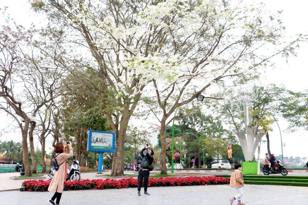 Ngỡ ngàng ngắm hoa sưa tháng Ba nở bung trắng trời Hà Nội