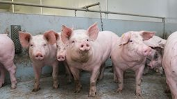 Thêm 2 tỉnh thành phía Bắc xuất hiện dịch tả lợn châu Phi
