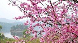 Tự hào khi Điện Biên Phủ lọt top điểm ngắm hoa anh đào đẹp nhất thế giới