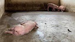 Hà Nội: phát hiện ổ dịch tả lợn thứ 6 ở Quốc Oai