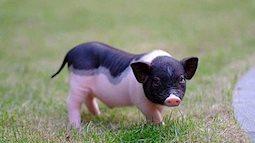 Cẩn trọng với phong trào người trẻ nuôi lợn cảnh mini hiện nay