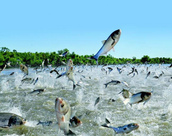 Sự xâm lăng của cá chép - cuộc chiến tỷ đô của nước Mỹ chống sinh vật ngoại lai tàn phá hệ sinh thái và bài học nhãn tiền nếu để tôm hùm đất du nhập - Ảnh 7.