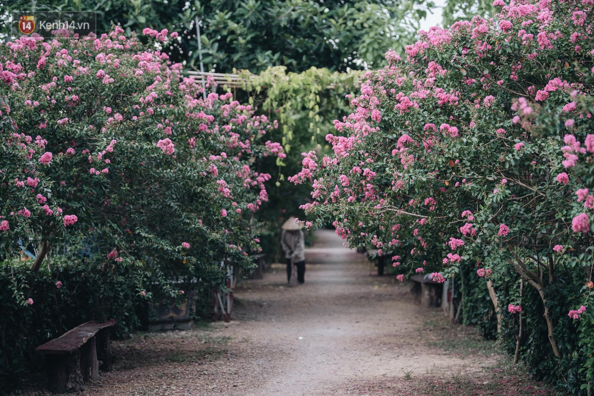 Chùm ảnh: Con đường ở Hà Nội được tạo nên bởi 100 gốc hoa tường vi đẹp như khu vườn cổ tích - Ảnh 2.