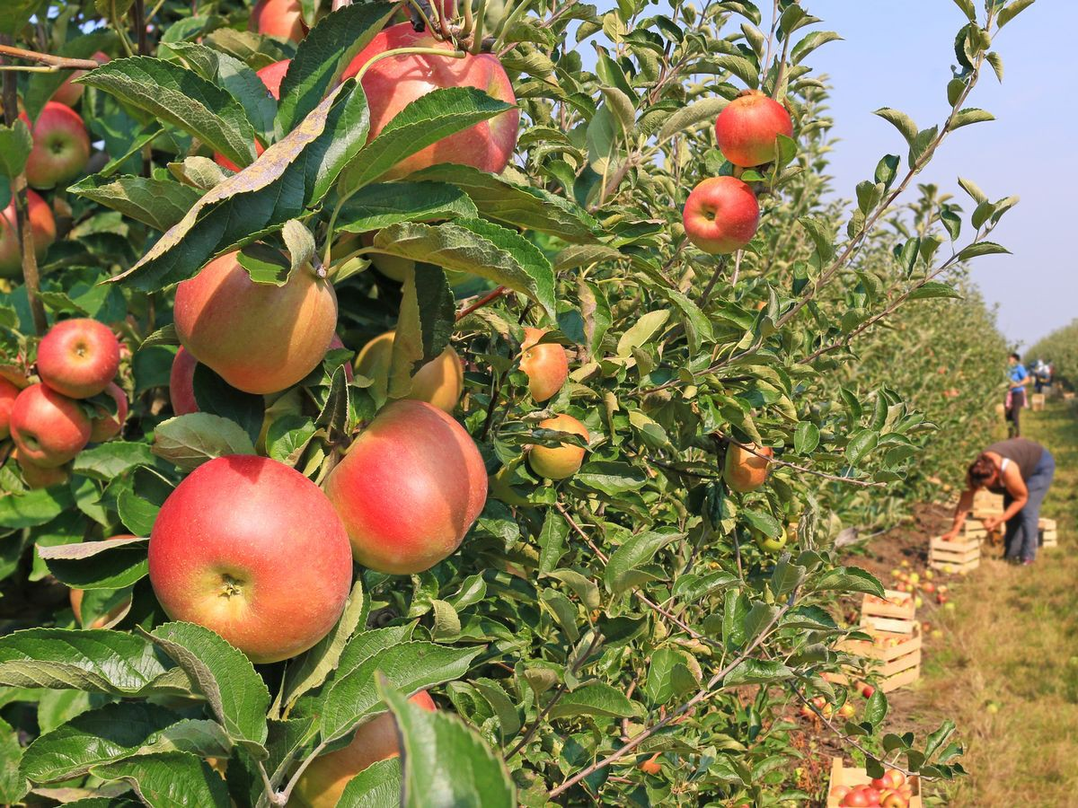 0_Youll-now-be-able-to-choose-just-which-apples-are-best-for-you