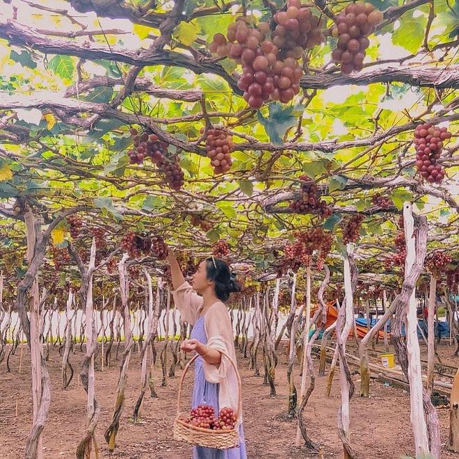 """Tháng 9 đổi gió """"săn nho"""" tại 2 khu vườn nổi tiếng nhất Ninh Thuận để lúc đi có hình sống ảo, lúc về có nho ăn! - Ảnh 17."""