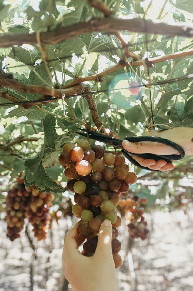 """Tháng 9 đổi gió """"săn nho"""" tại 2 khu vườn nổi tiếng nhất Ninh Thuận để lúc đi có hình sống ảo, lúc về có nho ăn! - Ảnh 19."""