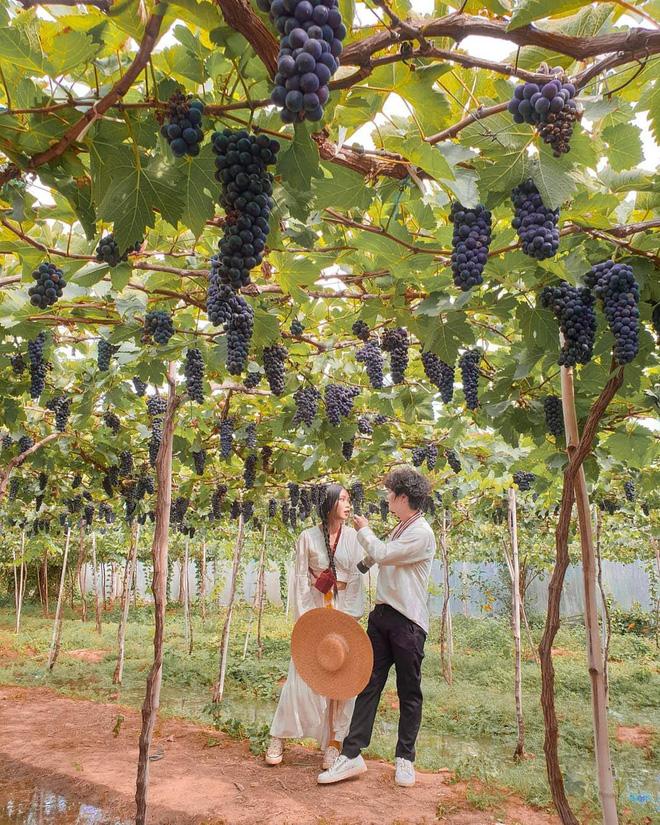 """Tháng 9 đổi gió """"săn nho"""" tại 2 khu vườn nổi tiếng nhất Ninh Thuận để lúc đi có hình sống ảo, lúc về có nho ăn! - Ảnh 3."""