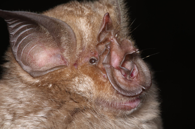 Đây là danh tính loài dơi đang chứa hơn 500 loại virus corona, cùng nhiều điều kỳ lạ khi xét nghiệm máu của những người dân sống gần hang dơi - Ảnh 4.