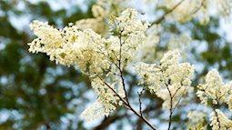 Sắc trắng trong trẻo, thanh mát của hoa sưa gọi tháng 3 về trên khắp nẻo đường Hà Nội
