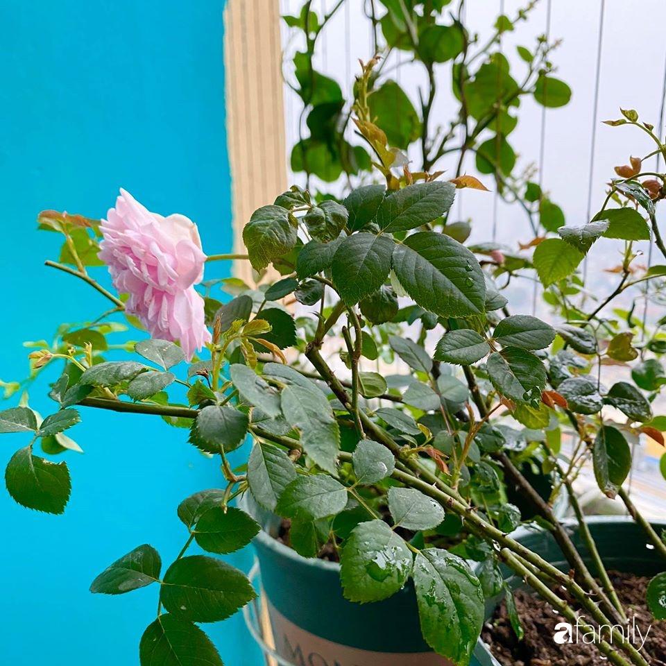 Mẹo hay của mẹ trẻ Hà Nội giúp bạn tự mua phụ kiện tạo vườn hồng đẹp mê ly ở ban công - Ảnh 7.