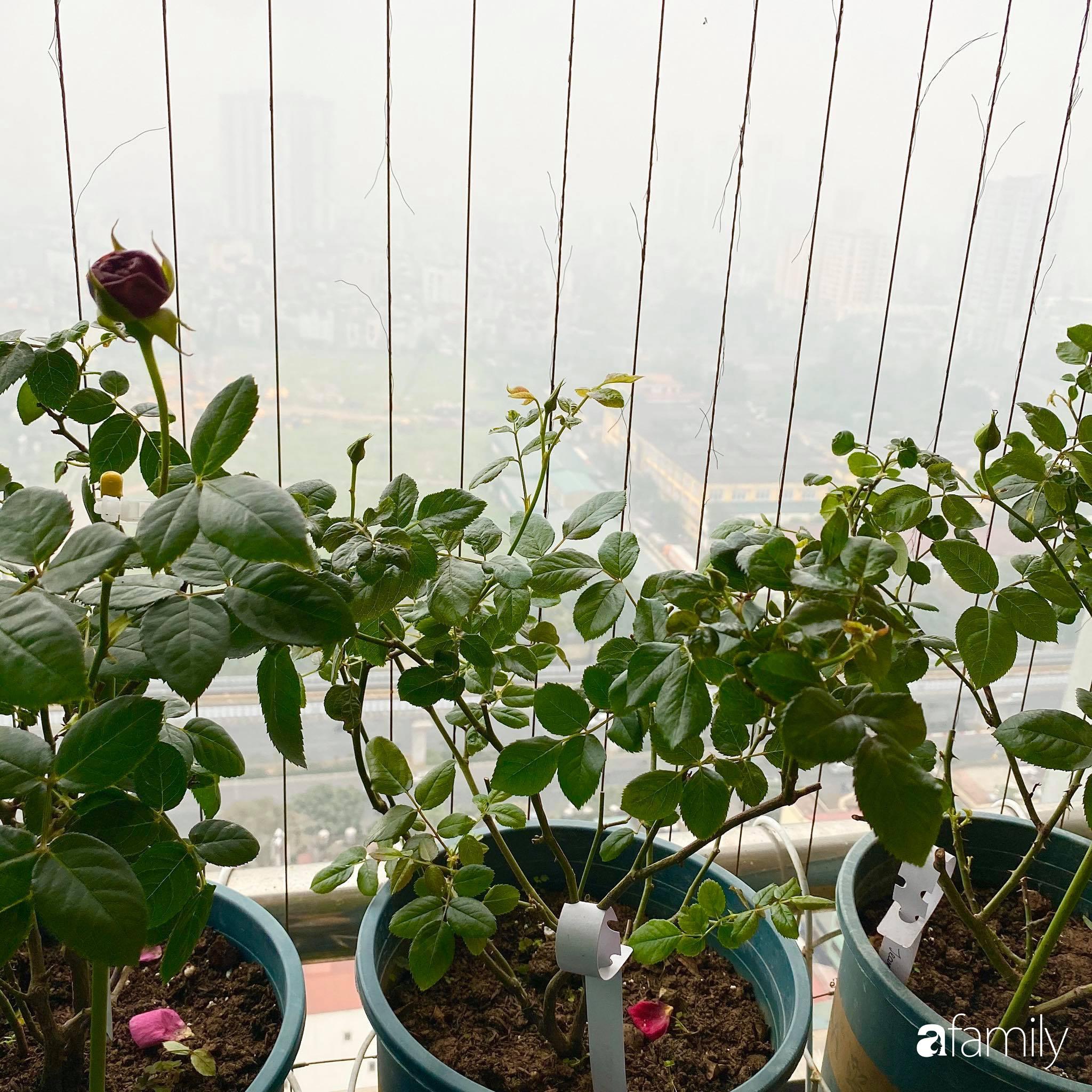 Mẹo hay của mẹ trẻ Hà Nội giúp bạn tự mua phụ kiện tạo vườn hồng đẹp mê ly ở ban công - Ảnh 10.