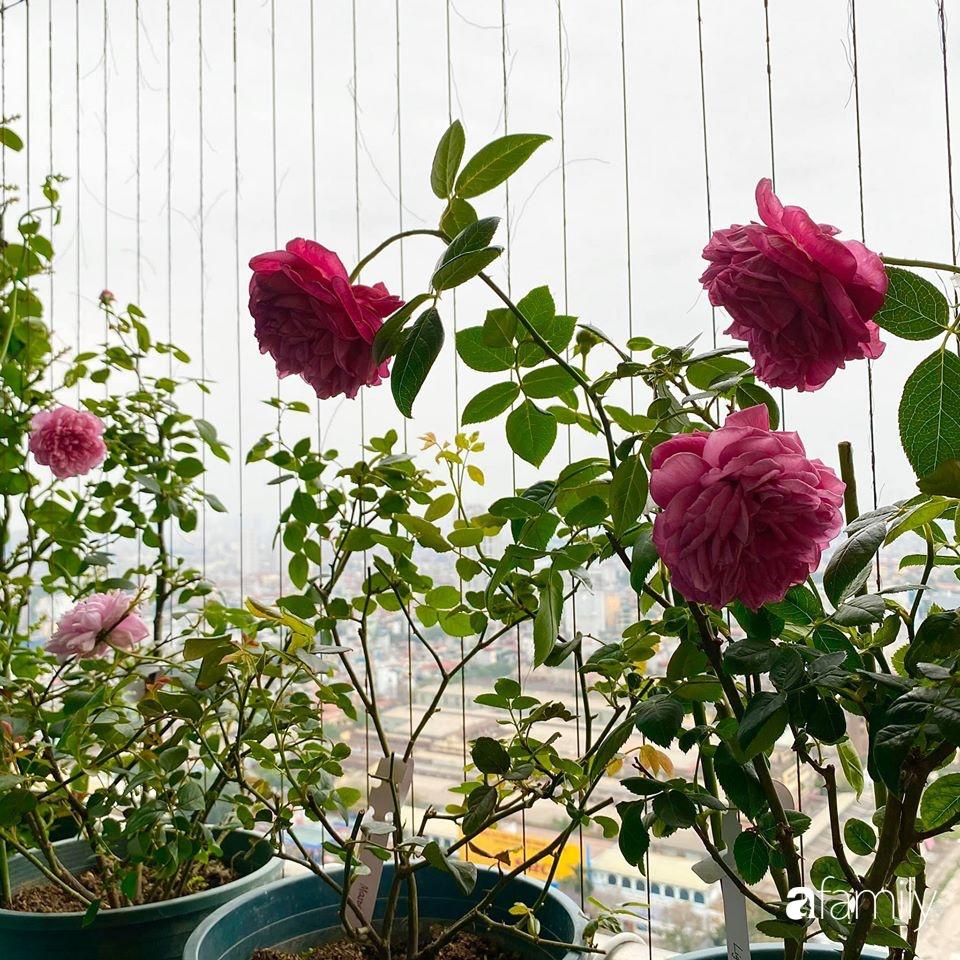 Mẹo hay của mẹ trẻ Hà Nội giúp bạn tự mua phụ kiện tạo vườn hồng đẹp mê ly ở ban công - Ảnh 16.