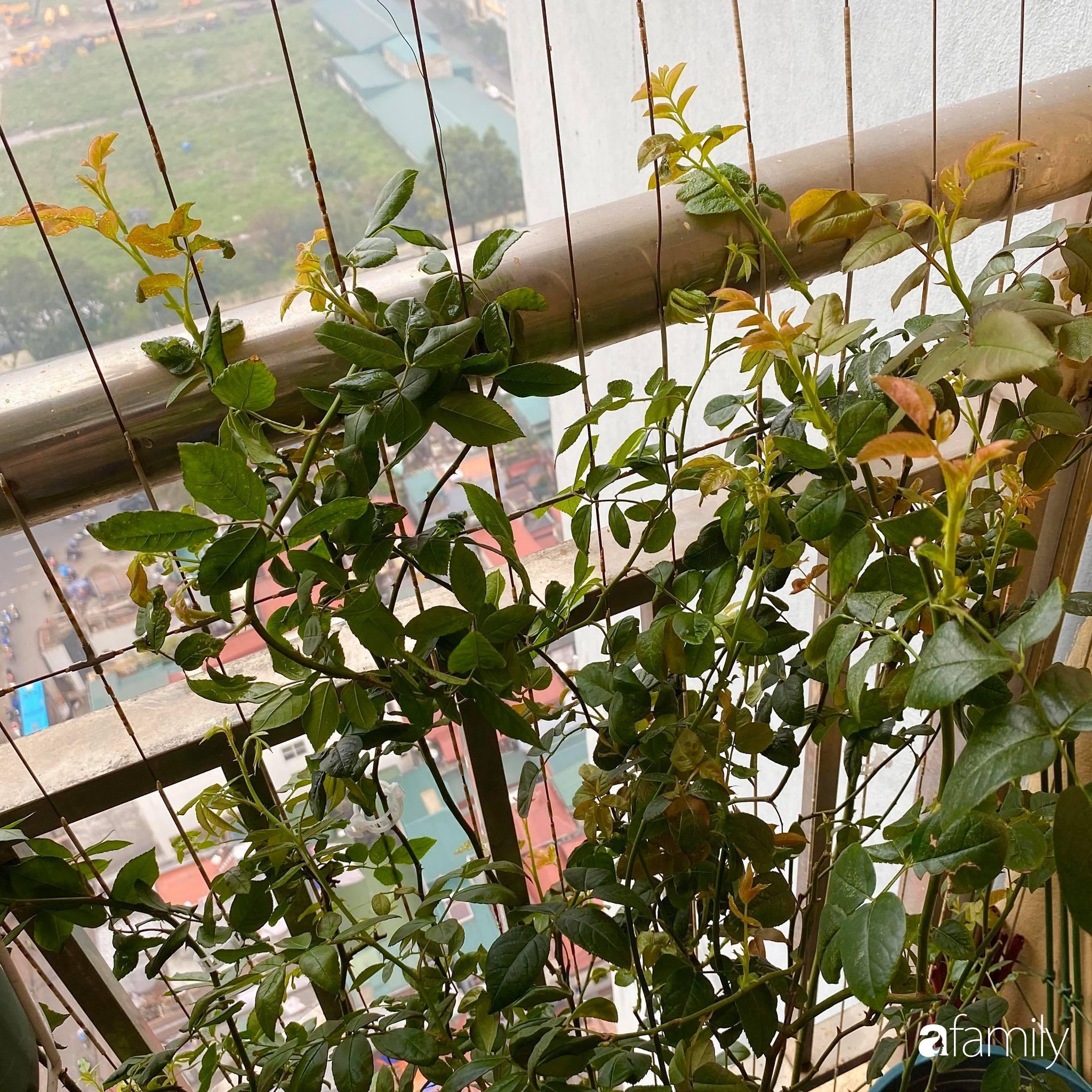 Mẹo hay của mẹ trẻ Hà Nội giúp bạn tự mua phụ kiện tạo vườn hồng đẹp mê ly ở ban công - Ảnh 11.