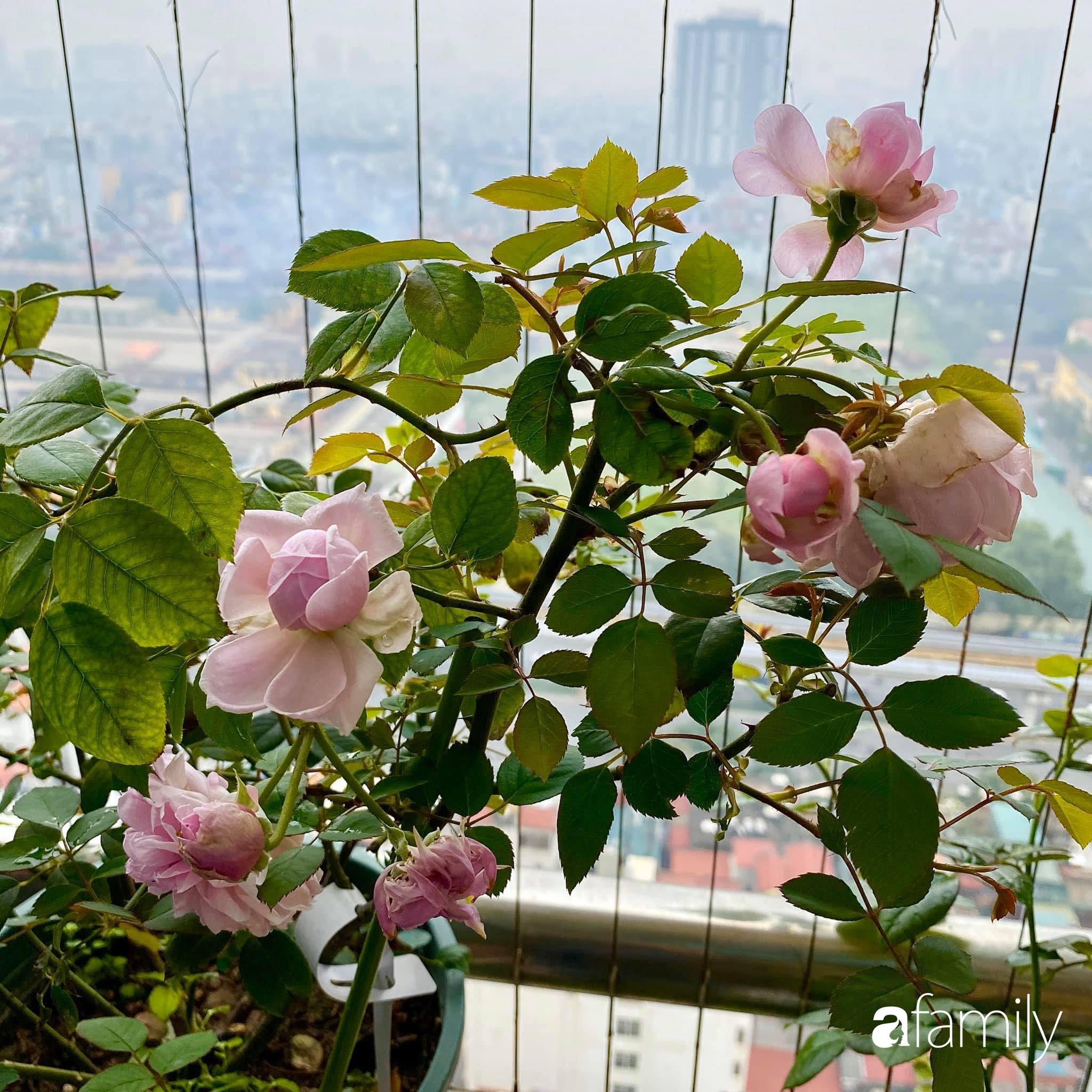 Mẹo hay của mẹ trẻ Hà Nội giúp bạn tự mua phụ kiện tạo vườn hồng đẹp mê ly ở ban công - Ảnh 2.