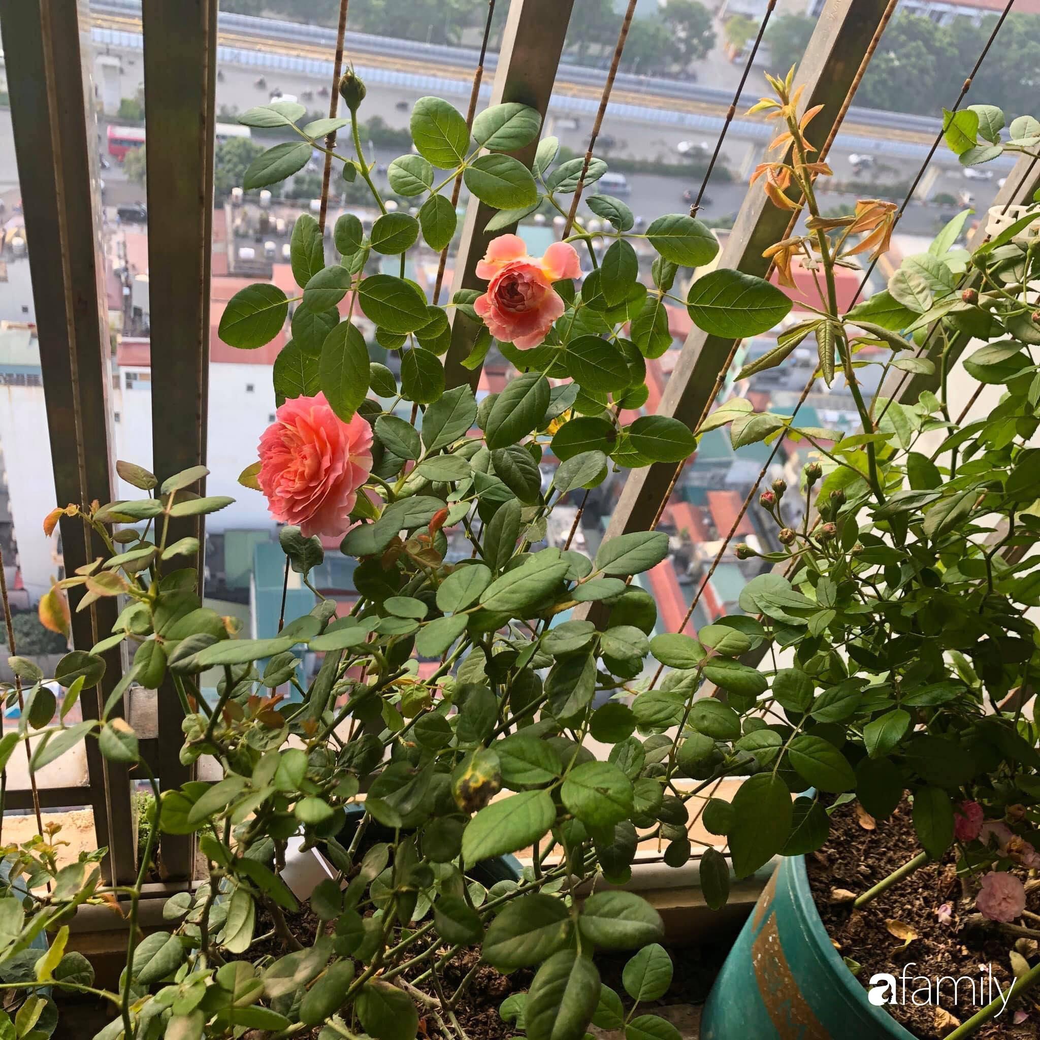 Mẹo hay của mẹ trẻ Hà Nội giúp bạn tự mua phụ kiện tạo vườn hồng đẹp mê ly ở ban công - Ảnh 14.