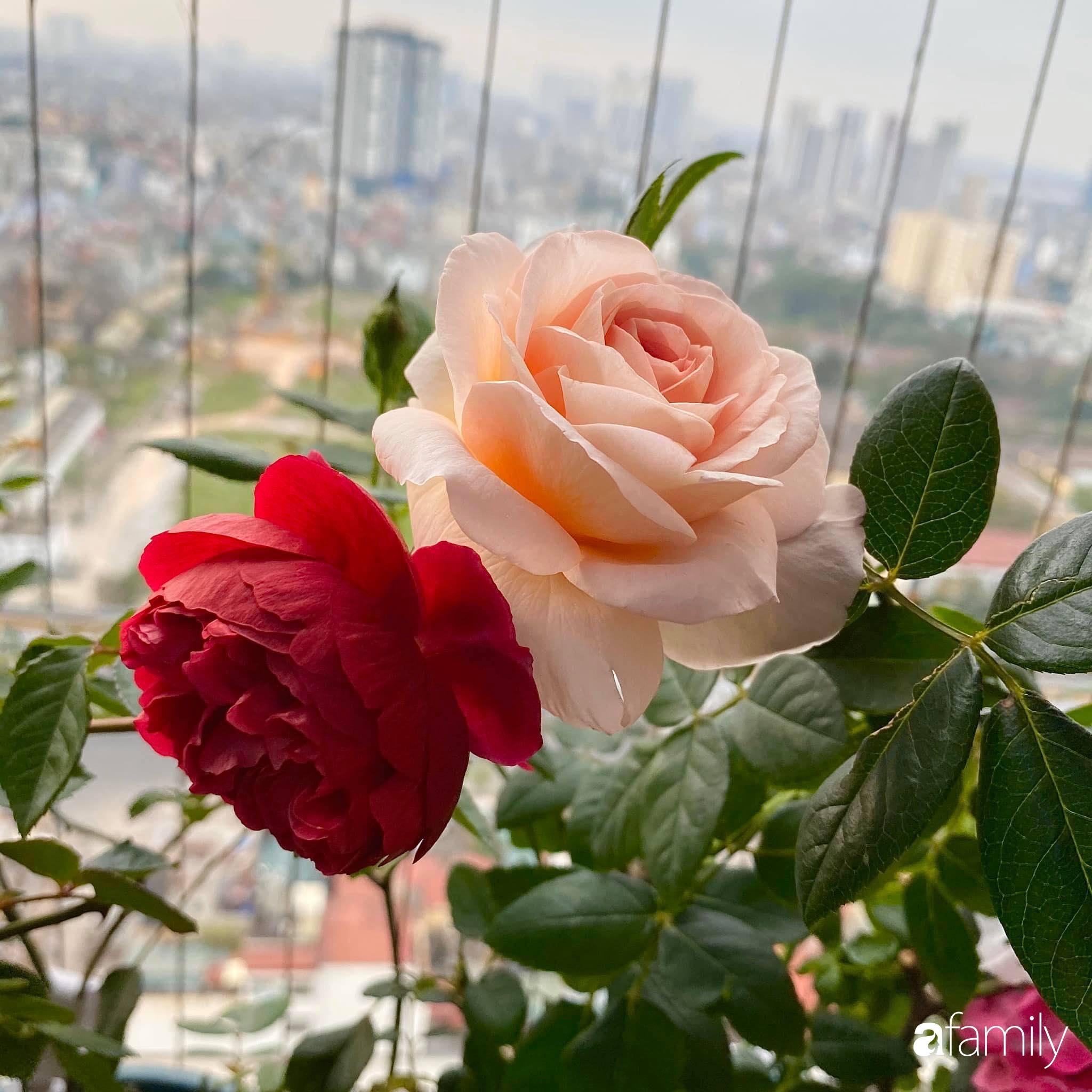 Mẹo hay của mẹ trẻ Hà Nội giúp bạn tự mua phụ kiện tạo vườn hồng đẹp mê ly ở ban công - Ảnh 1.