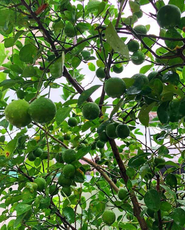 Bà xã Quyền Linh khoe thành quả thu hoạch hoa trái sai trĩu trong căn biệt thự 21 tỷ, được cả chồng lẫn 2 cô con gái xinh đẹp phụ giúp - Ảnh 15.