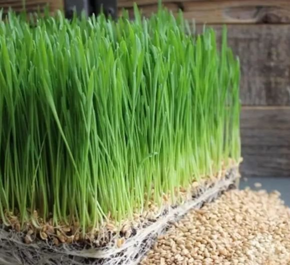 Tự tay trồng và pha chế nước ép cỏ lúa mì ngay tại nhà - Hình ảnh