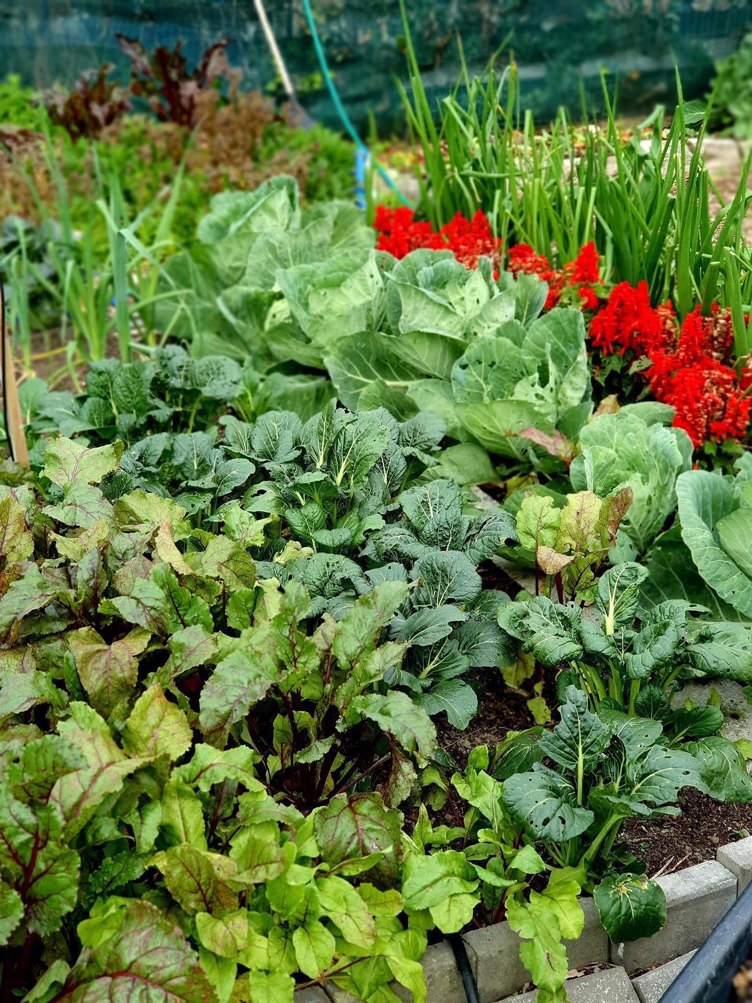 Khu vườn 225m² trồng toàn rau hữu cơ xanh tốt nhờ bí quyết dễ làm của bà mẹ trẻ đảm đang - Ảnh 16.