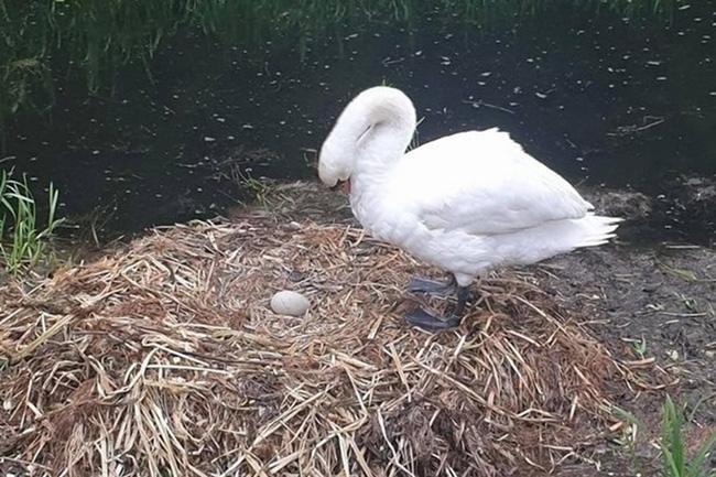 Bị đập nát trứng, thiên nga mẹ uất ức vỡ tim mà chết - Ảnh 1.