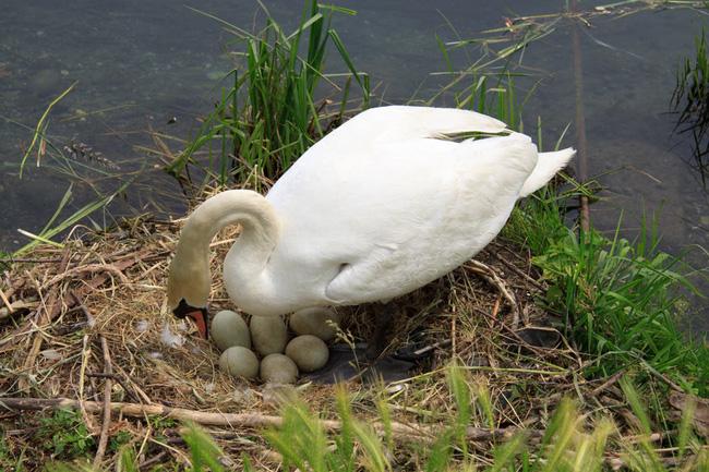 Bị đập nát trứng, thiên nga mẹ uất ức vỡ tim mà chết - Ảnh 3.