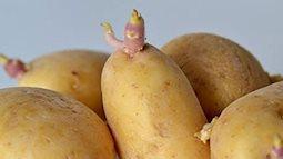 Những lưu ý khi ăn khoai tây để không gây hại cho sức khoẻ