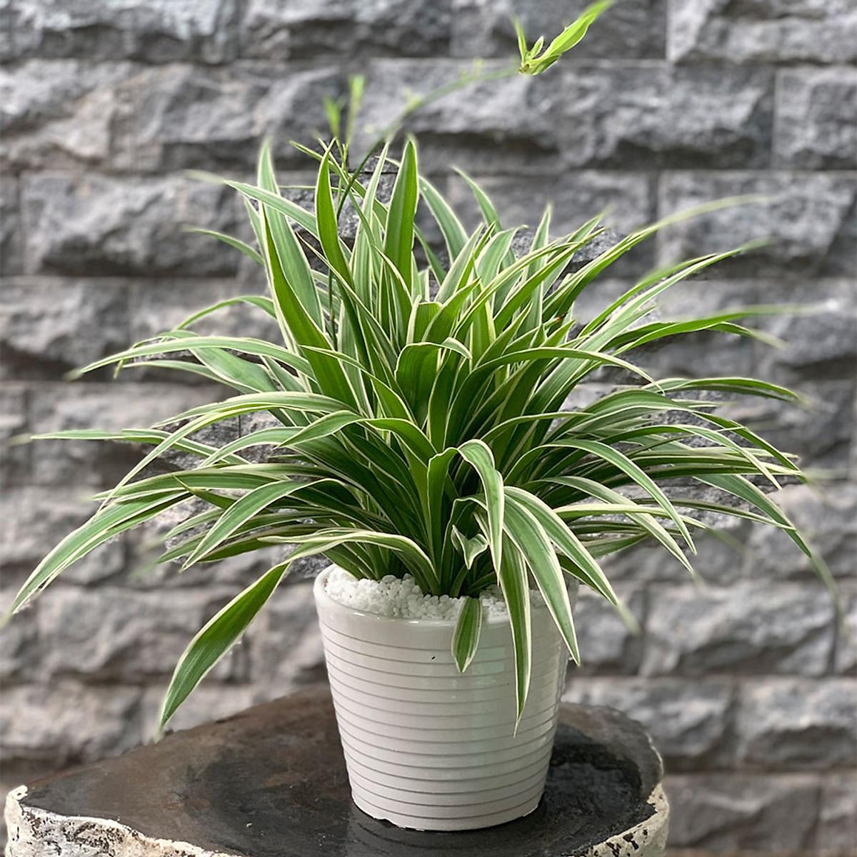 Những loại cây cảnh trồng trong nhà vừa sang trọng vừa dễ trồng lại còn thu hút tài lộc - Ảnh 3.