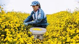 """Dành cho ai mong Tết: Ghé thăm ngôi làng trăm năm gần Hà Nội, sở hữu những mảnh ruộng cúc """"tiến vua"""" vàng óng, làm dân tình khắp nơi đổ về nườm nượp chụp hình"""