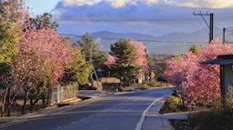 Choáng ngợp với cảnh hàng trăm cây hoa mai anh đào nở rợp trời ở ngôi làng đẹp lạ như Tây Tạng, nằm ngay gần trung tâm TP. Đà Lạt mà không phải ai cũng biết
