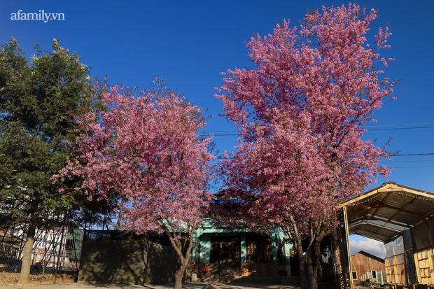 Choáng ngợp với cảnh hàng trăm cây hoa mai anh đào nở rợp trời ở ngôi làng đẹp lạ như Tây Tạng, nằm ngay gần trung tâm TP. Đà Lạt mà không phải ai cũng biết - Ảnh 8.