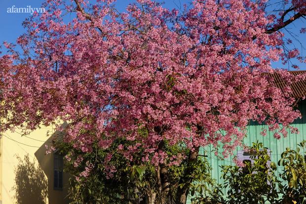 Choáng ngợp với cảnh hàng trăm cây hoa mai anh đào nở rợp trời ở ngôi làng đẹp lạ như Tây Tạng, nằm ngay gần trung tâm TP. Đà Lạt mà không phải ai cũng biết - Ảnh 9.