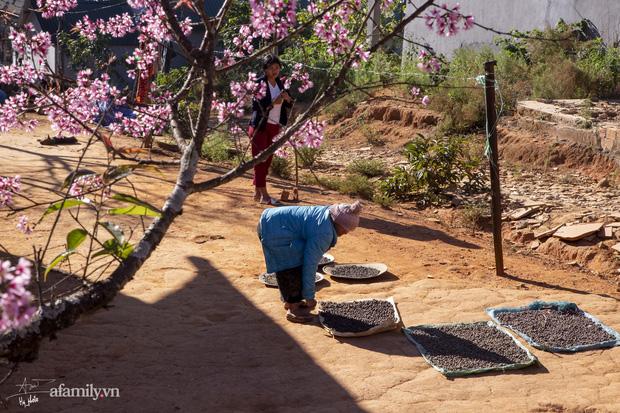 Choáng ngợp với cảnh hàng trăm cây hoa mai anh đào nở rợp trời ở ngôi làng đẹp lạ như Tây Tạng, nằm ngay gần trung tâm TP. Đà Lạt mà không phải ai cũng biết - Ảnh 10.