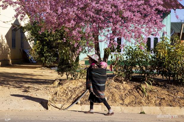 Choáng ngợp với cảnh hàng trăm cây hoa mai anh đào nở rợp trời ở ngôi làng đẹp lạ như Tây Tạng, nằm ngay gần trung tâm TP. Đà Lạt mà không phải ai cũng biết - Ảnh 11.