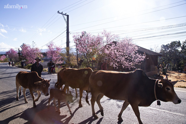 Choáng ngợp với cảnh hàng trăm cây hoa mai anh đào nở rợp trời ở ngôi làng đẹp lạ như Tây Tạng, nằm ngay gần trung tâm TP. Đà Lạt mà không phải ai cũng biết - Ảnh 15.